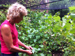 mum picking blackcurrant leaves